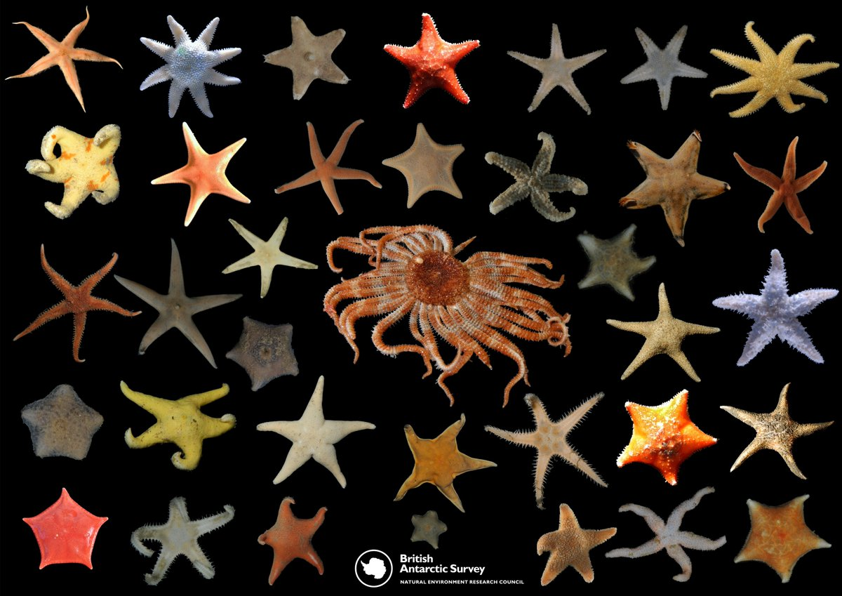 #Biodiversity comes in all shapes, sizes & colours! #Antarctica has #corals, #sponges, #starfish, #seaspiders and #crustaceans to name just a few of the amazing things living in water as cold as -2 degrees! #IDB2018 #BiodiversityDay bas.ac.uk/team/science-t …