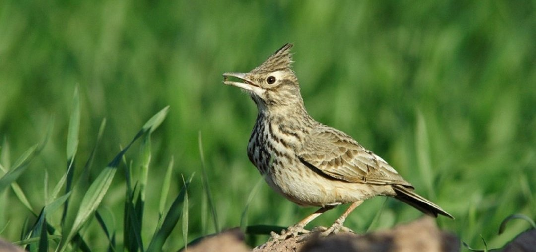 Bulgaria has seen a 21% decrease of farmland birds since they joined the EU in 2005. Vladimir Dobrev, @BSPB_BirdLife explains how its directly linked to intensive agriculture and CAP subsidies. #FutureofCAP #NatureAlert