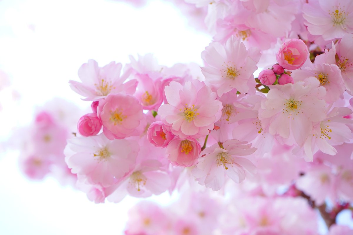 Get Hd Walls On Twitter Cherry Blossom Flowers 4k Hd Wallpaper Download This Wallpaper In Your Resolution Https T Co Xgivwpbely Nature Hd Wallpaper Images Android Iphone Cherryblossom Rose Https T Co Qr9jicyoiu