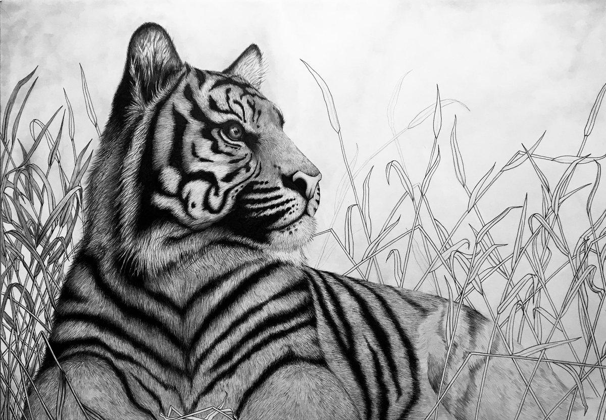 Картинки тигров животных в карандаше