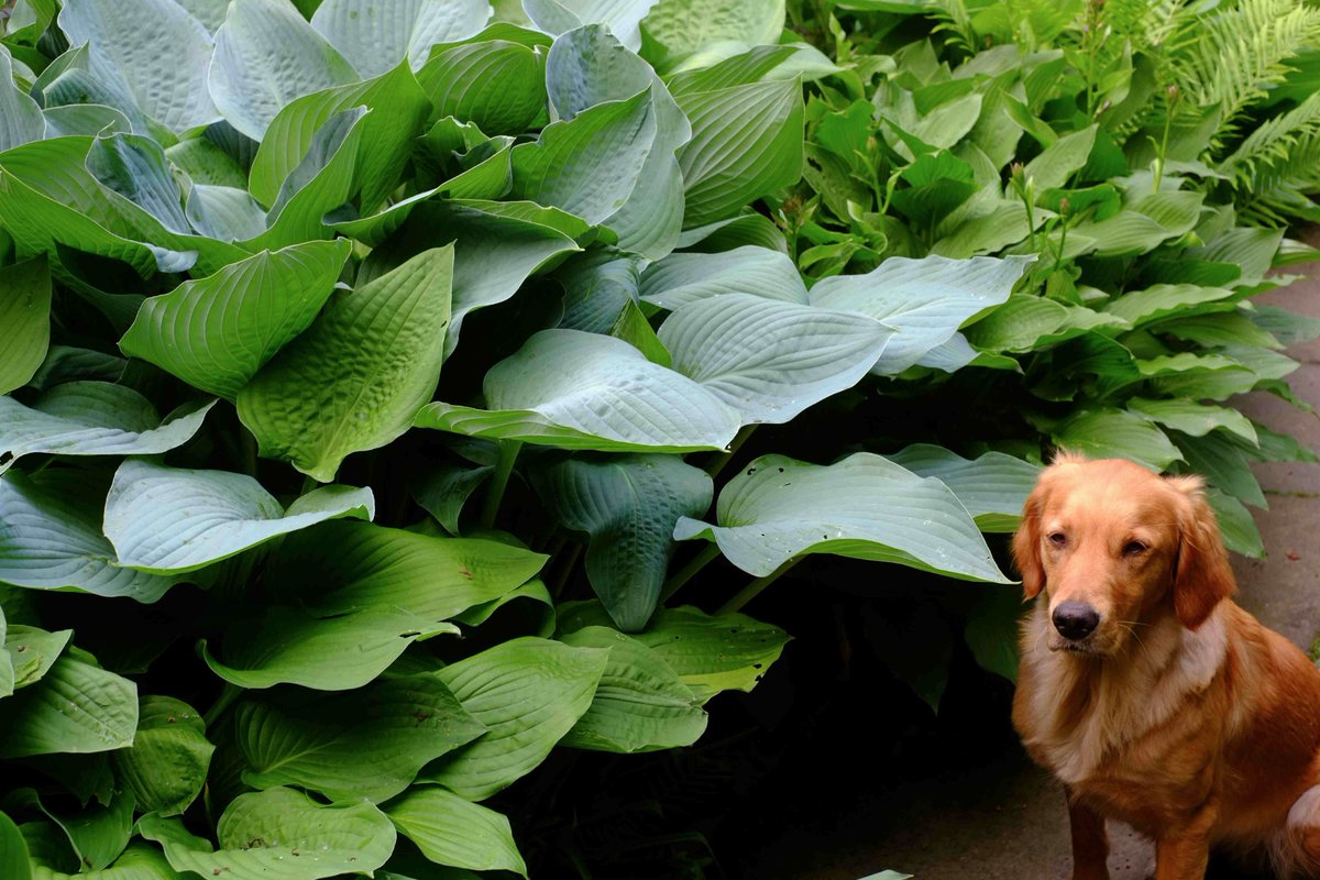 Monty Don On Twitter Hostas By The Pond Slightly Bored Nell There For Scale Secret Is An Organic Garden With Mes Of Predators That Eat Slugs