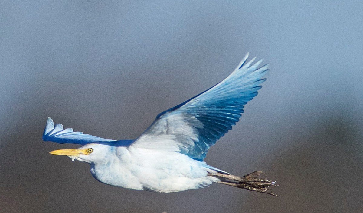 Holy blue bells of Scotland, Batman! If you liked the yellow cardinal, youre gonna love this ELECTRIC BLUE CATTLE EGRET. Read Frank Izaguirres analysis and appreciation at The @ABA Blog: tinyurl.com/y89p9s3y
