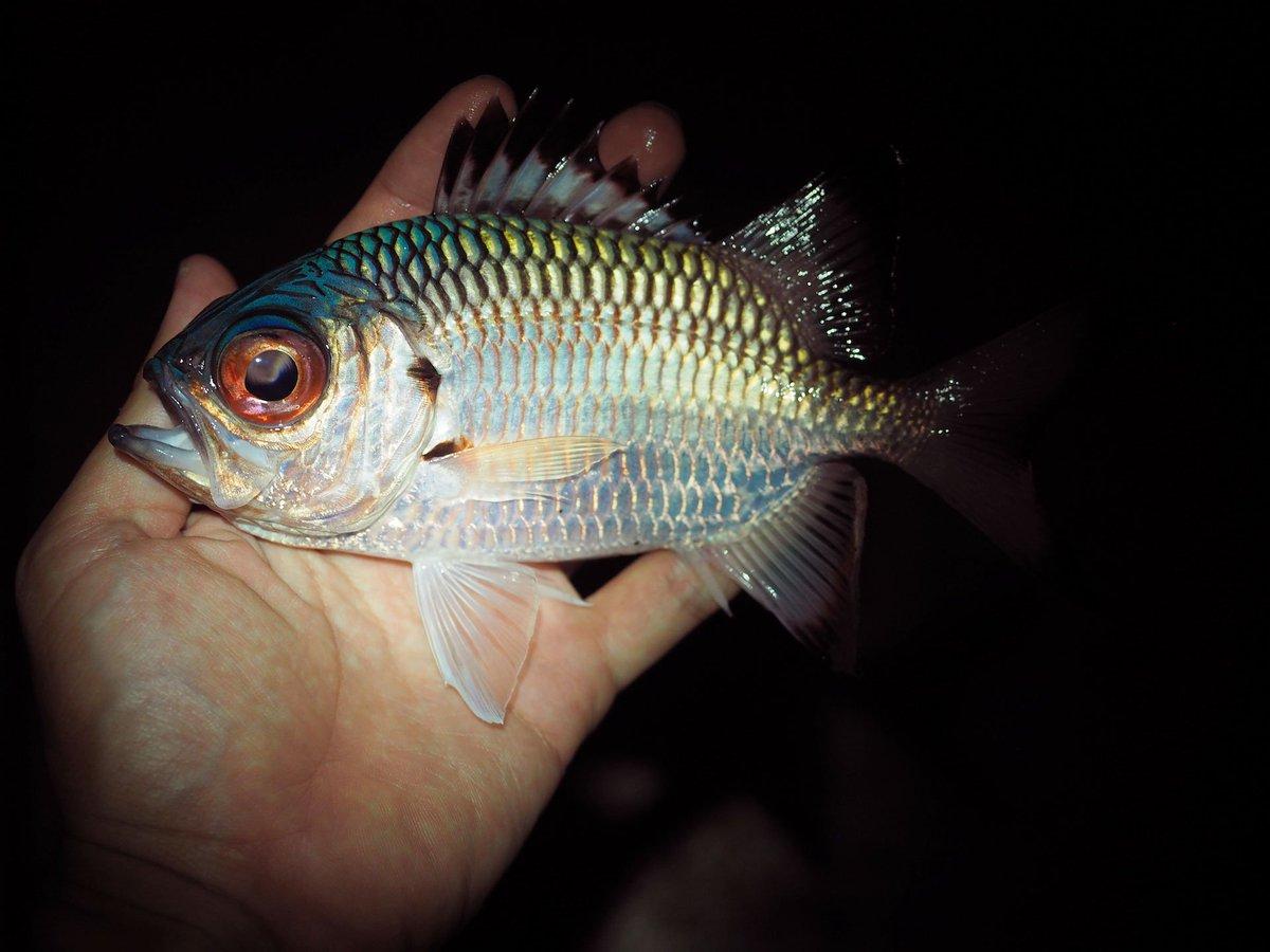 普段はほぼ夜釣りをしないのだけど、深夜作業の息抜きにと少し行ってきた。このアカマツカサ属の何か(ヨゴレマツカサ?)の頭部の青さ!パンダイシモチらしき魚も初めて見ることができ、いつもと違う行動パターンならではの新鮮な出会いでありました