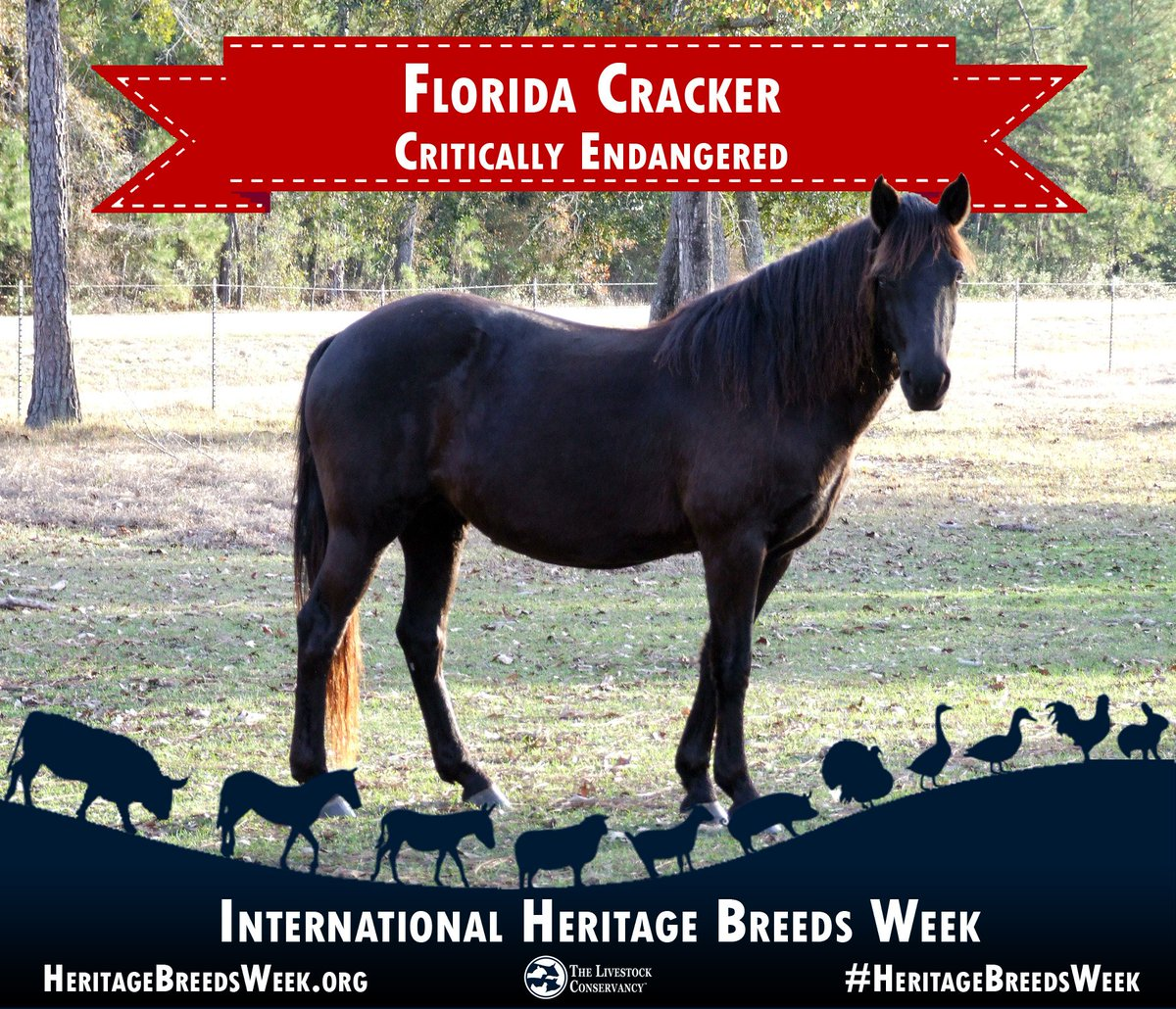 Livestockconservancy On Twitter Florida Cracker Horse Critically