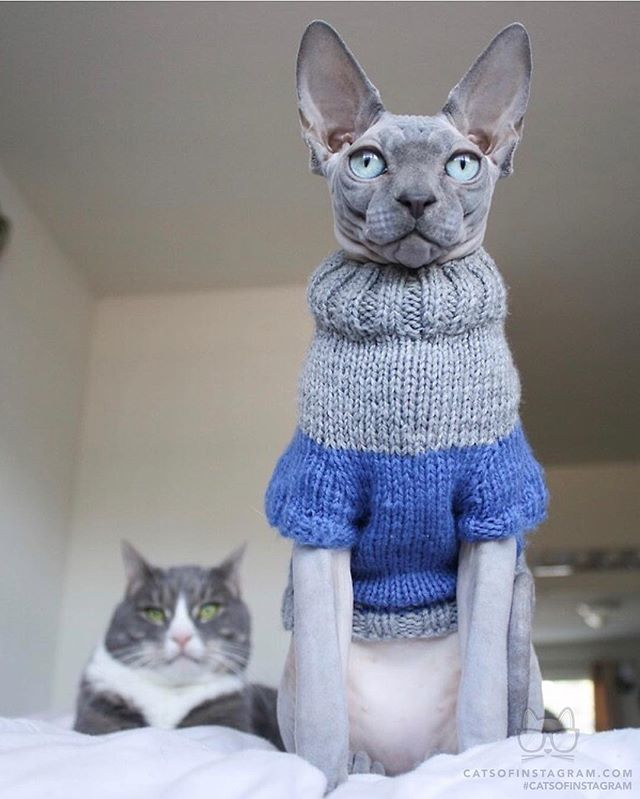 """From @simon_the_sphynx: """"Handsome boys servin some looks """" #catsofinstagram<br>http://pic.twitter.com/g59q1YBes7"""
