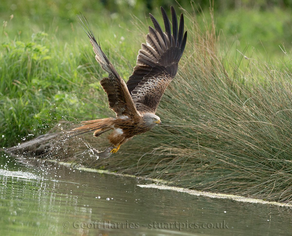 Geoff Harries On Twitter See Red Kites Fishing Gif At Httpstco