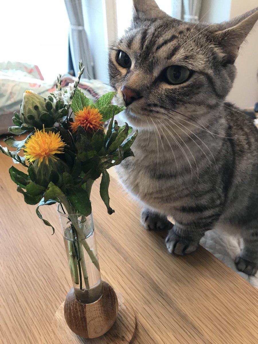べに花を初めて見たさばみそとごましお(´ω`) #さばみそ #ブリティッシュショートヘア #ごましお #マンチカン #猫 #猫モフー #猫好きさんと繋がりたい