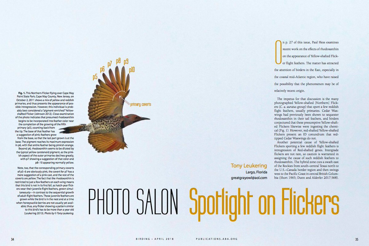 CELEBRATE NORTHERN FLICKERS! These showy and colorful woodpeckers are common across much of North America. And they come in an infinite variety of color combinations. Learn more in Tony Leukerings article in the @ABAs Birding magazine: tinyurl.com/y9l5ebep