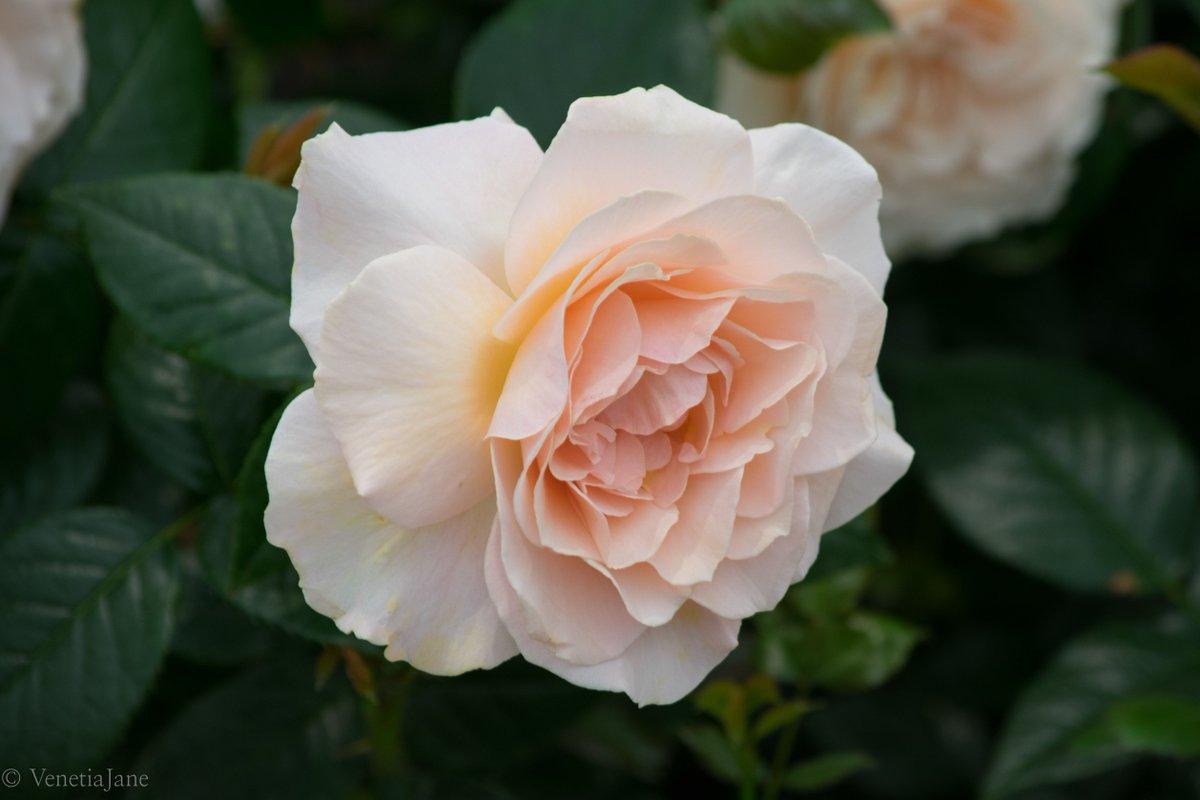Venetiajanes Garden On Twitter Harkness Roses Describe Chandos