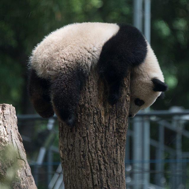 2018.05.17 #上野動物園 #パンダ #シャンシャン #uenozoo #giantpanda #panda #xiangxiang