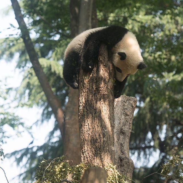 2018.05.18 #上野動物園 #パンダ #シャンシャン #uenozoo #giantpanda #panda #xiangxiang