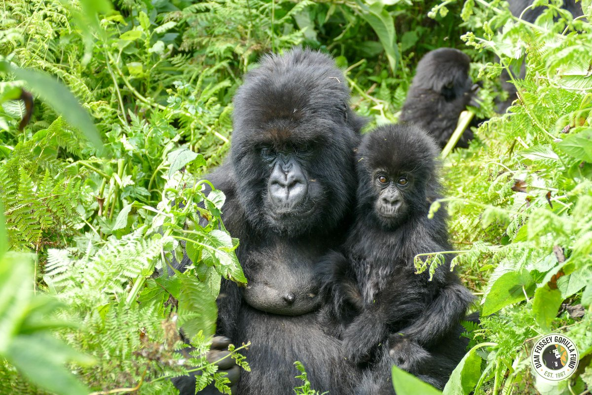 Happy 22nd Birthday Tamu! Here she is with her infant Ubudasa who was named at Kwita Izina last fall. Ubudasa means Remarkable. dfgfi.org/2gIfRpp