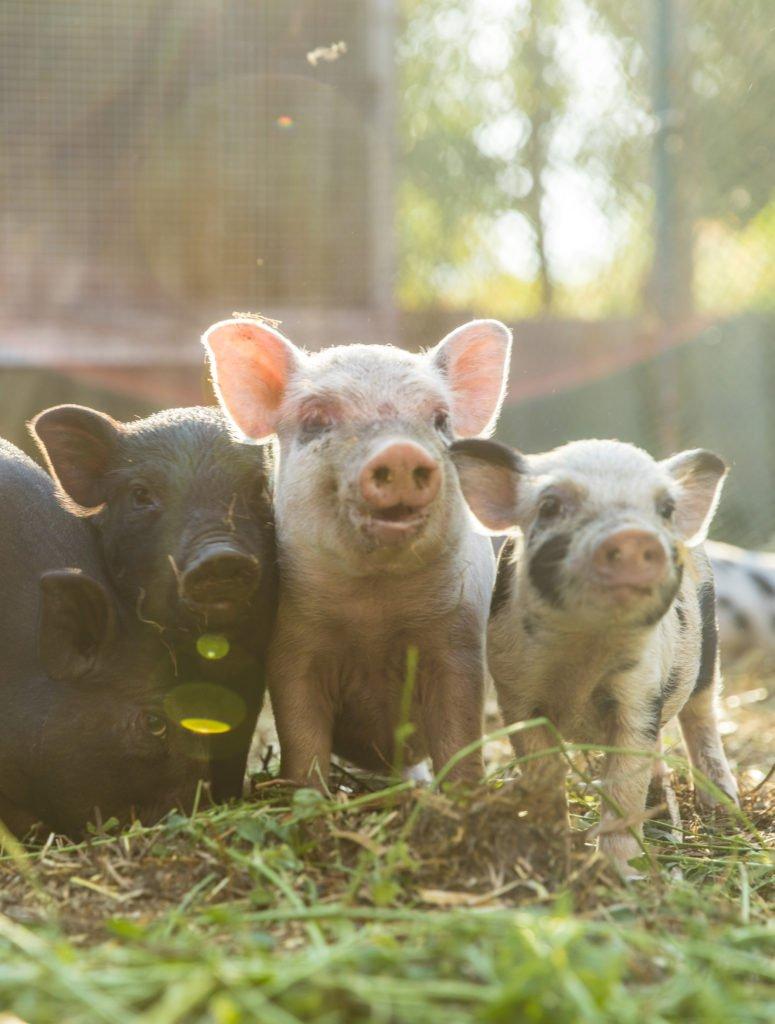 Merck Vet Manual On Twitter The Tale Of Two Too Thin Pigs Tco 8gjhEzP1CN VetStudentStories VeterinaryMedicine