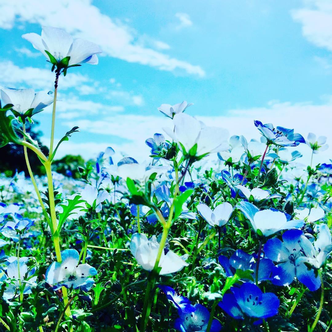 茨城の青の絶景『ネモフィラ畑』