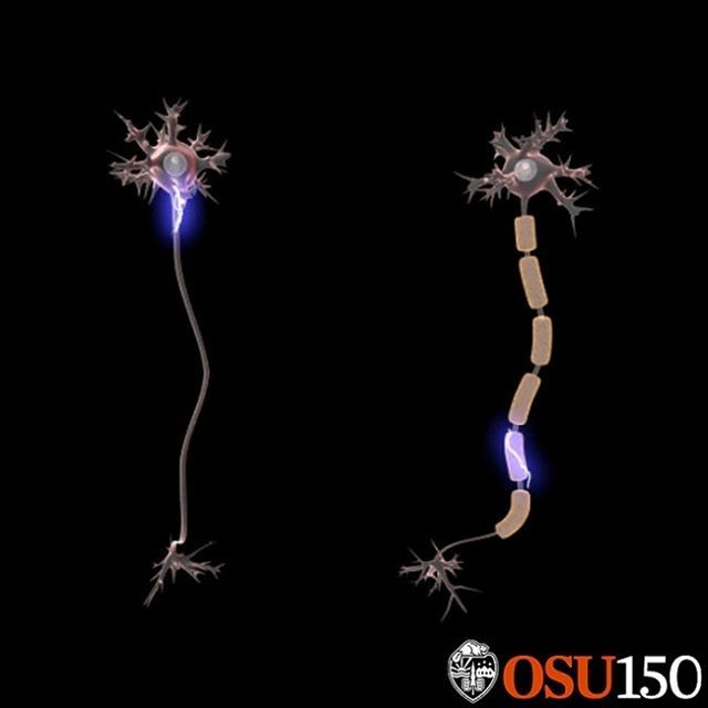 Neurons transmit electrical signals to muscles through a thin connection called an axon. The axon is covered by a sort of insulation called the myelin sheath, which is like the plastic coating on your charger cord. In ALS, this coating is eaten away, and… https://t.co/AenKZxc7Xt