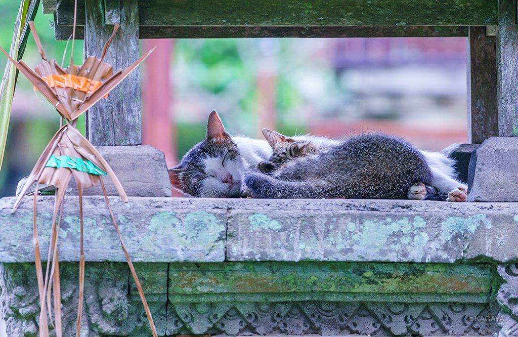 バリ島の猫様。 1、祭壇の上です。 2、寺院の中です。バリ島では猫は神聖な動物なのだそうですよ。 3、世界遺産タマン・アユン寺院にて 今日もお疲れ様でした。明日もおだやかな一日になりますように。