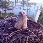 Image for the Tweet beginning: Our Osprey Cam has been