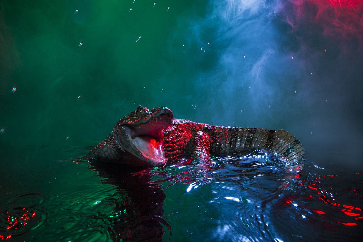 The colorful lights and smoke in Andrew McGibbon's photographs don't resemble typical nature photos; the result is a scene that vaguely looks like some kind of crocodile night club. See more funky shots of Caimans clubbing here: https://t.co/hjIX790kHD