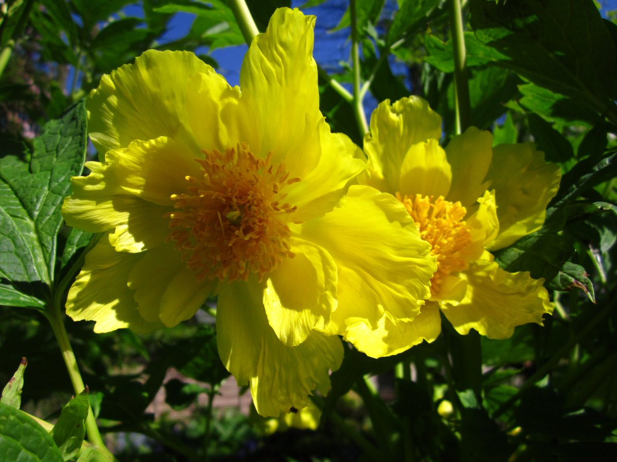 Phoebe On Twitter What Do You Think Of My Yellow Tree Peony