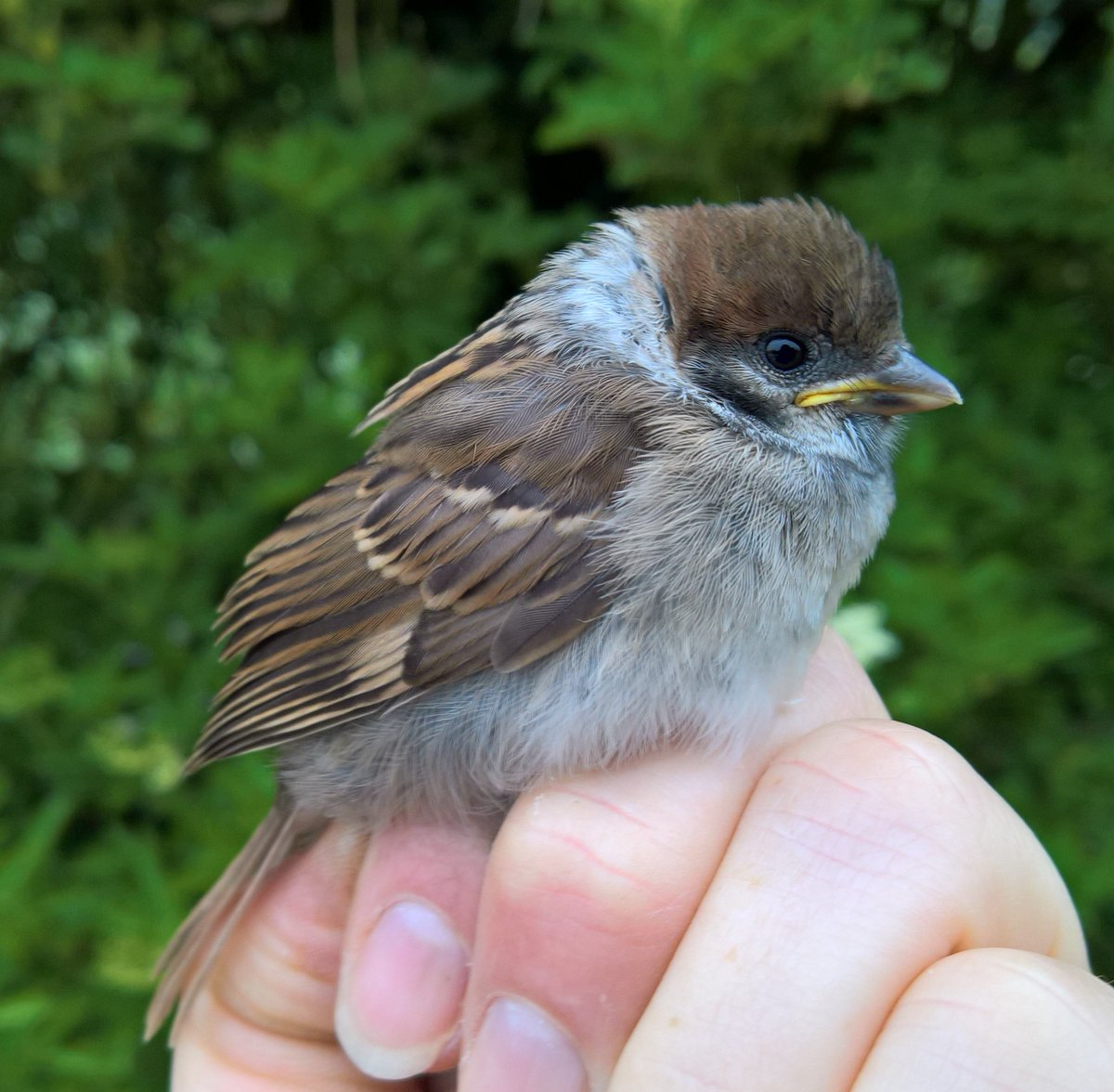 Perfect Tree Sparrow monitoring day: 33 caught for BTO Retrap Adults for Survival Project inc first juvs fledged from our boxes proving nesting success, 12 new, 12 retraps from last year and one from 2015. Then ringing 72 nestlings as part of BTO Nest Records Scheme. <br>http://pic.twitter.com/cyrCqSkGPp
