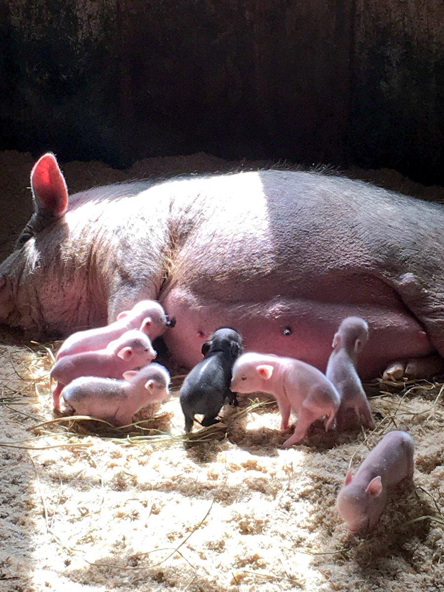 ママから送られてきた産まれたての子豚の写真見て…
