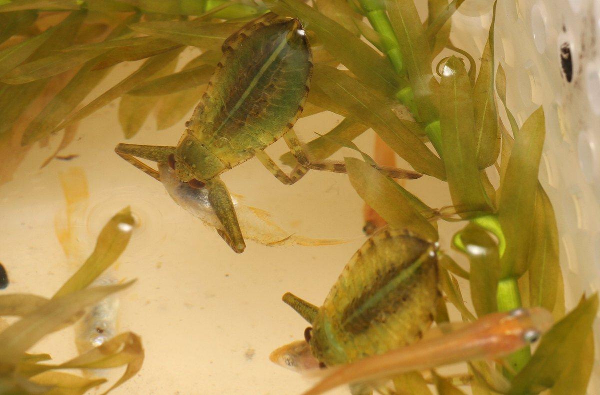 エサを喰いまくるタガメの3齢幼虫さん