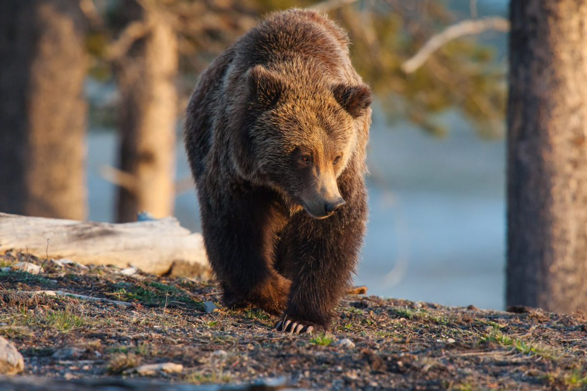 the background information of the grizzly bears found in the united states Having estimates of size and trend will greatly improve our collective knowledge of grizzly bear ecology, and provide more measurable and precise information to judge the status of the grizzly population in the ncde.