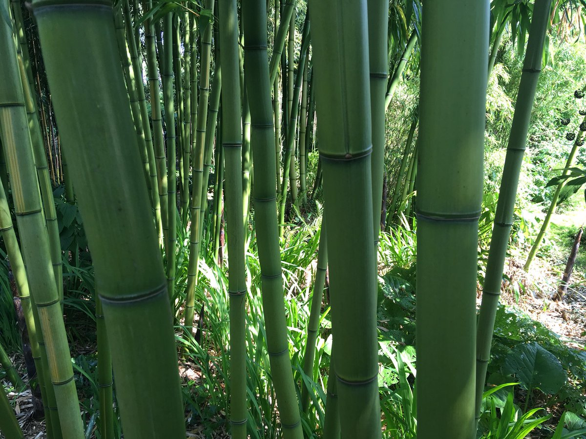 summary of pliant like the bamboo Pliant like a bamboo iv mallari 2 there is a story in philippine folklore abouta mango tree and a bamboo tree wwwslidesharenet the origin of the pine tree.