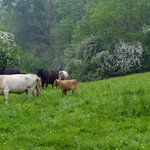 On Saturday's walk we encountered cows, calves and Avery tired bull.