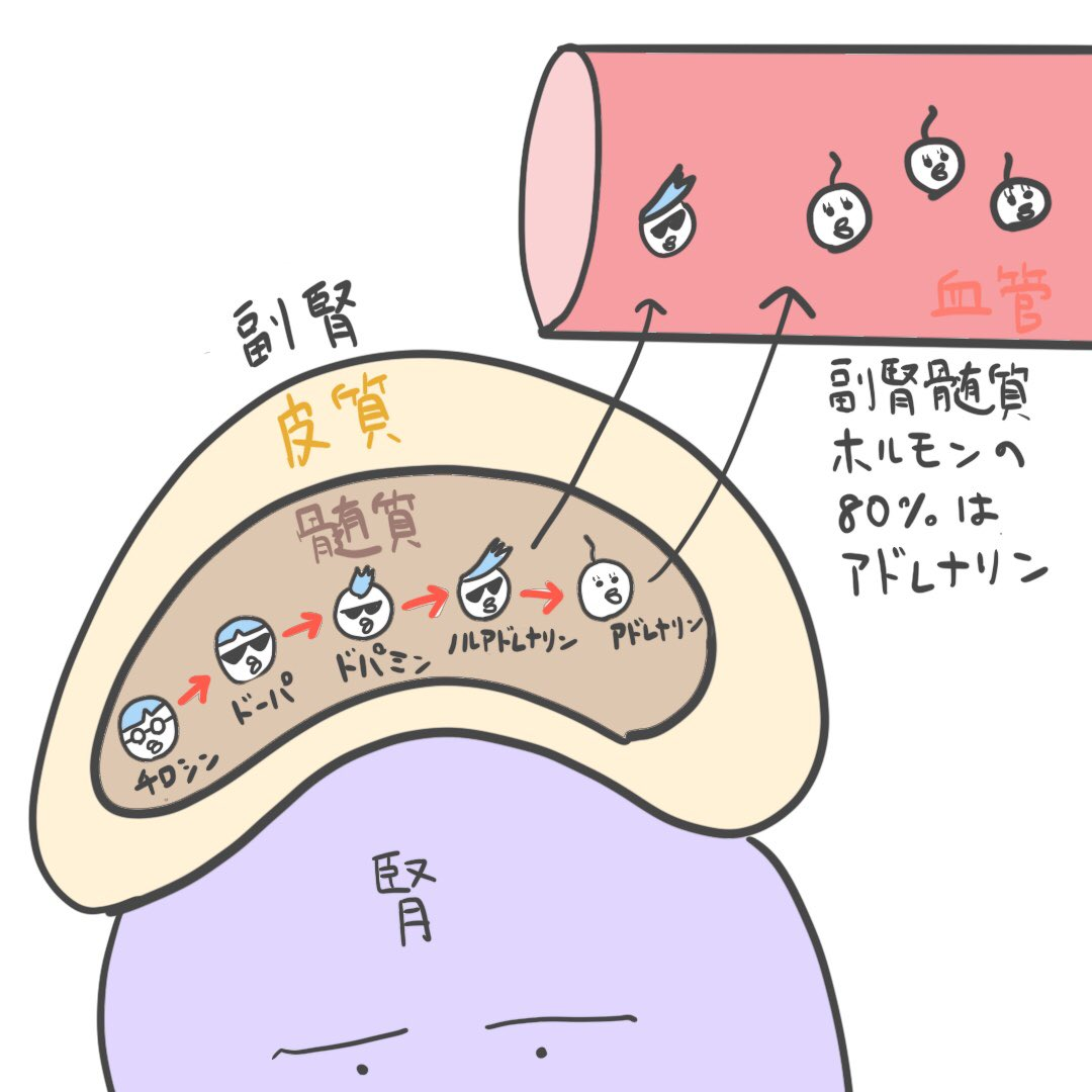 髄質 ホルモン 副腎
