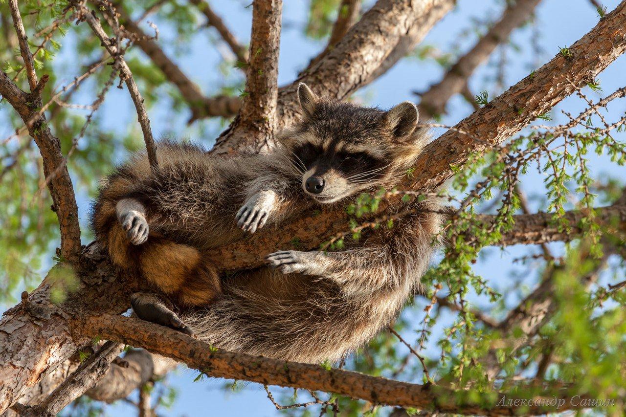 бизнесмен енот за деревом фото ставить вблизи