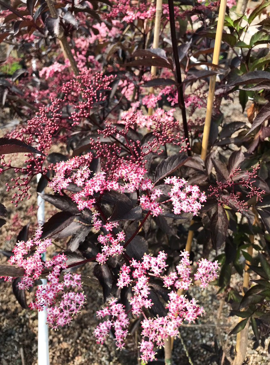 Trees For Life On Twitter Beautiful Delicate Flowers Of Sambucus
