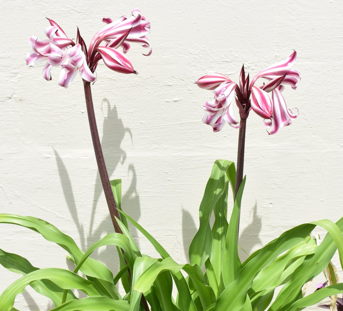 Connies orchid bar on twitter my neighbors lilies look like a connies orchid bar on twitter my neighbors lilies look like a painting or a nature print lily flowers simplebeauty izmirmasajfo