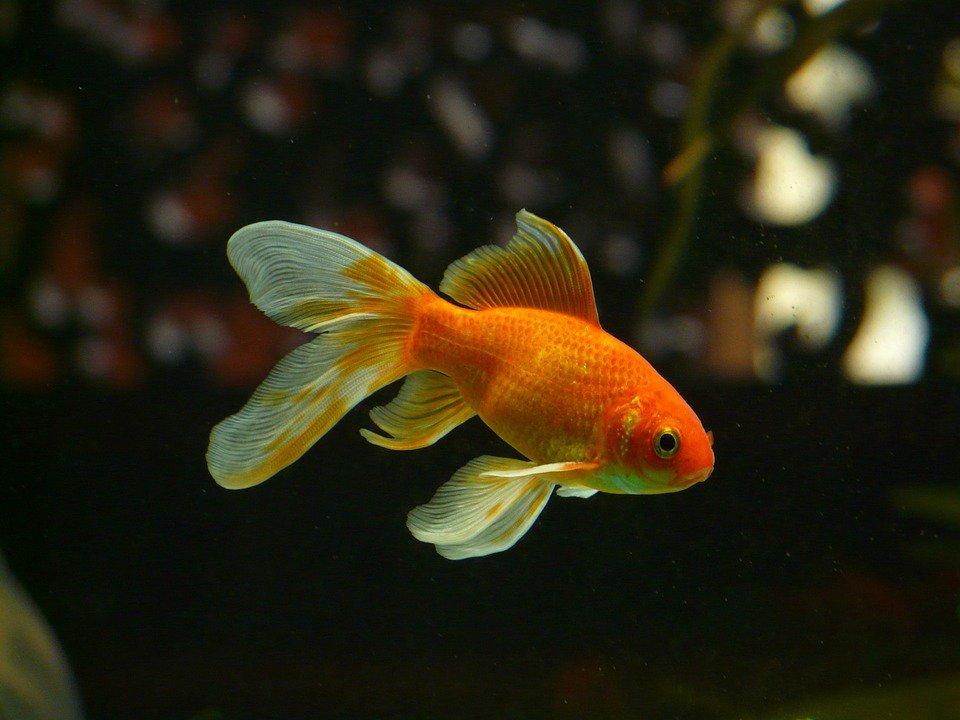 Золотая рыбка красивые картинки, месяца