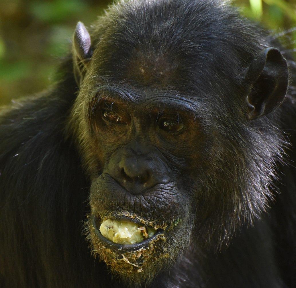 Faustino wadging mbula fruit at #gombe @HumanOriginsASU @ASUBeingHuman @JaneGoodallInst