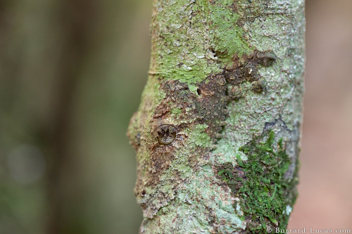 An incredibly well-camouflaged leaf-tailed gecko, photographed in Madagascar.