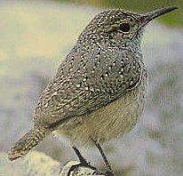 Facultative nest modification by Rock Wrens stl.publisher.ingentaconnect.com/contentone/stl… #ornithology