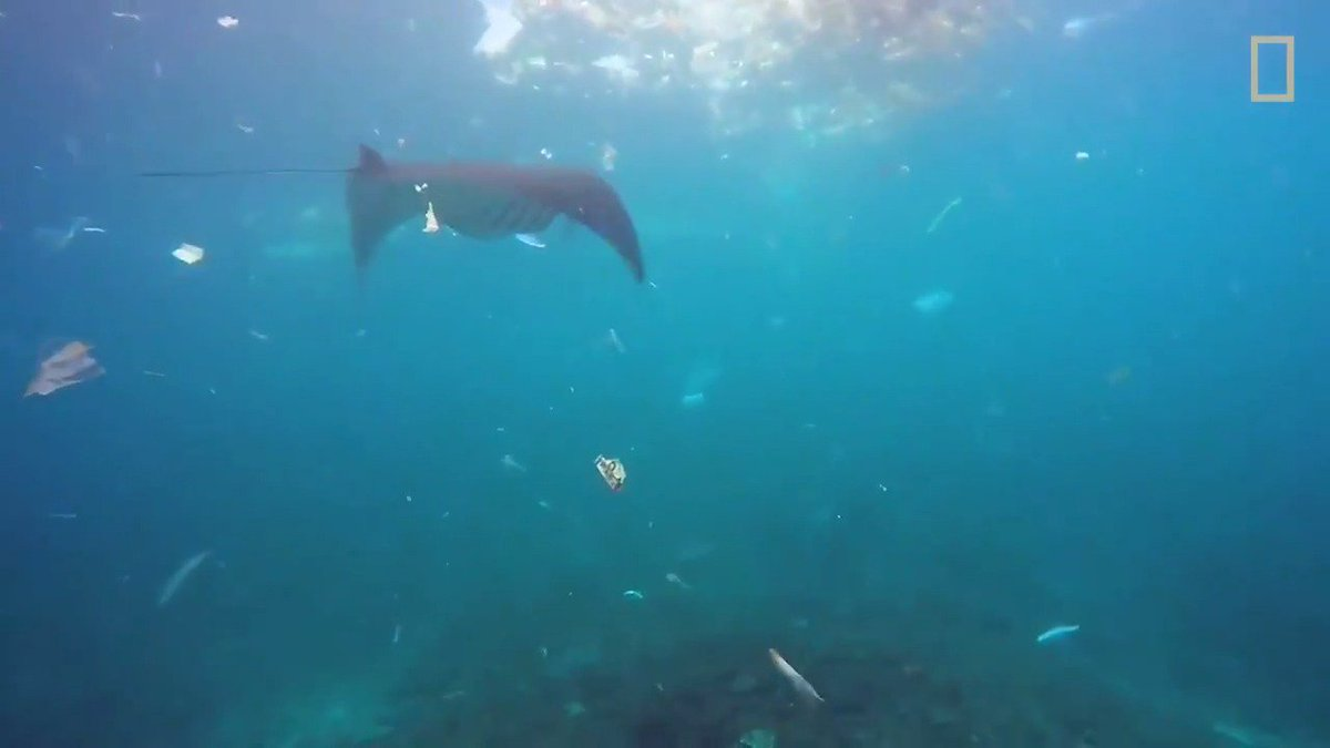 Under the surface of paradise lies a tragic scene: a manta ray feeding on the plastic pollution surrounding it