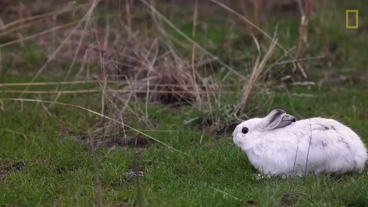 What's a snowshoe hare to do when its coat turns white, but there's no snow on the ground?