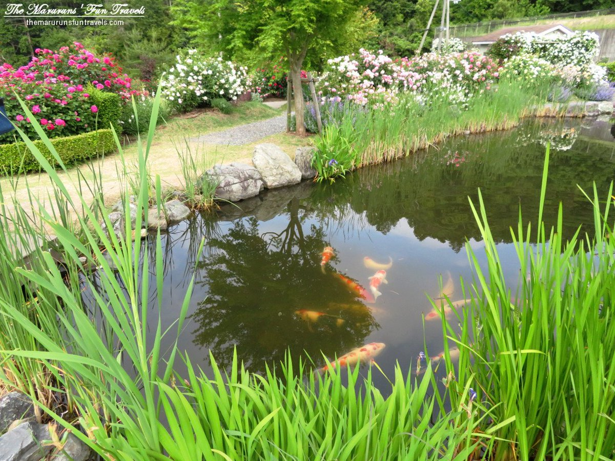 Marurun On Twitter Koi Fsh Swimming In The Pond At