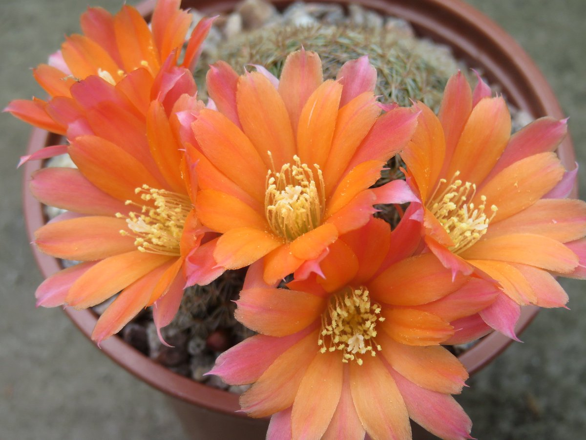 Tracey Marshall On Twitter There Are So Many Cactus Flowers Open