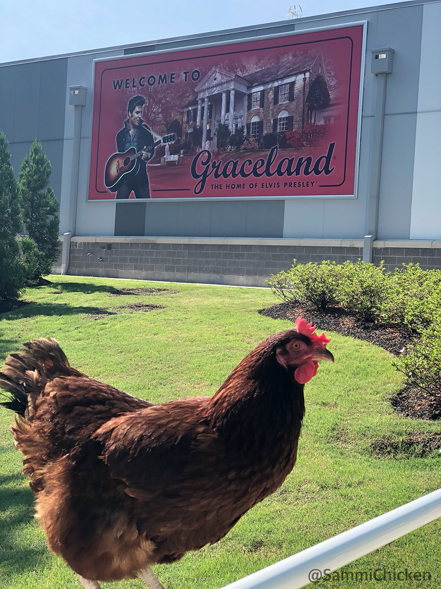 """Sammi Chicken on Twitter: """"Such a beautiful place, this Graceland. ➡️➡️I walked through the gates of Graceland...And then walked back though. #elvis #elvispresley #graceland #memphis #memphisinmay #tennessee #roadtrip #chickenofthesea #beachchicken ..."""