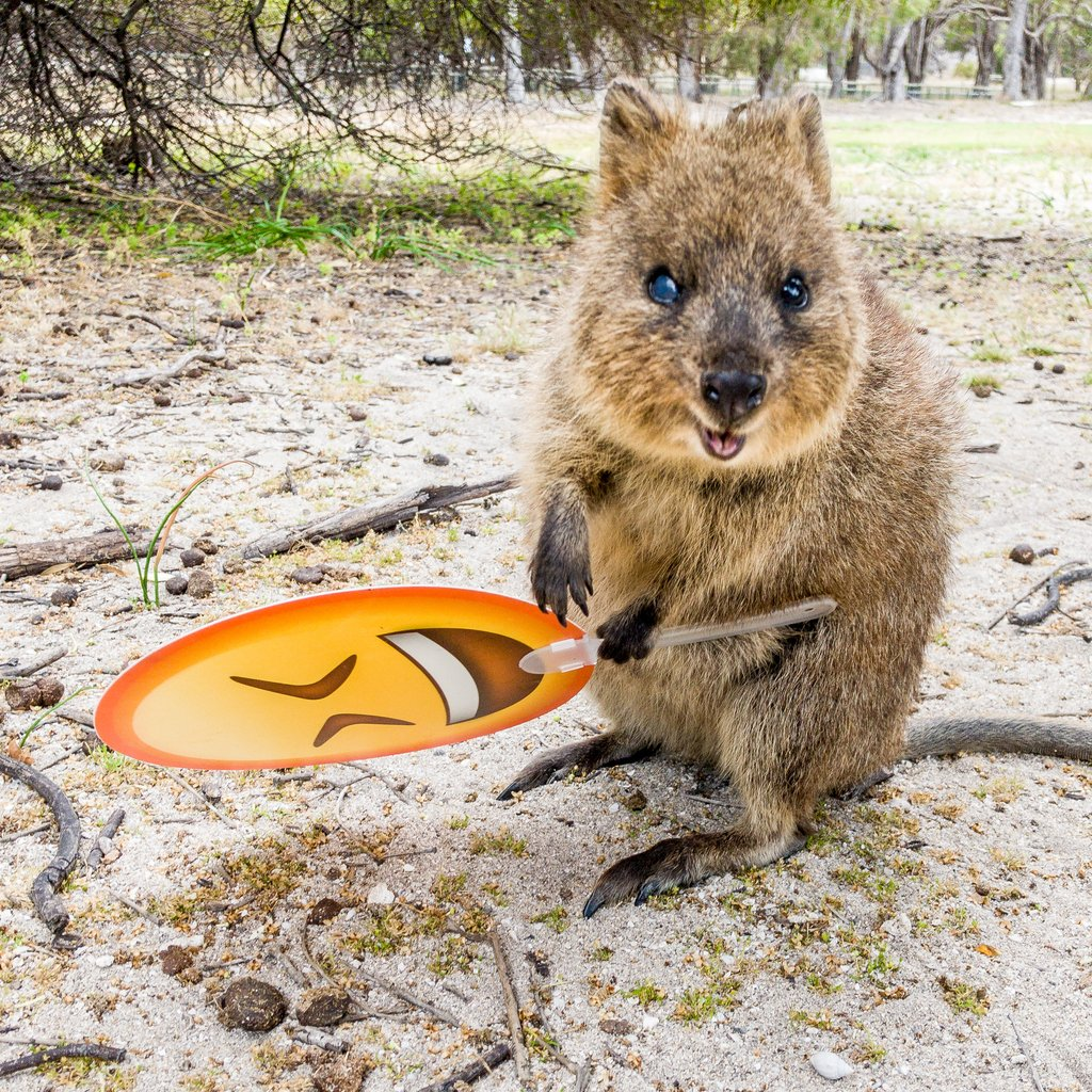 "Chloe the Quokka on Twitter: ""We're excited because we published ..."