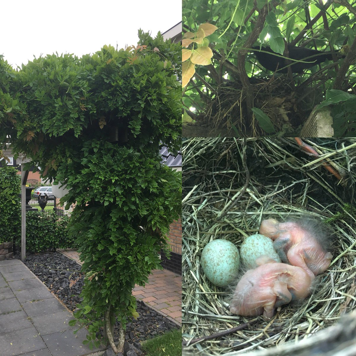 Ei Voor In De Tuin.F On Twitter In Eigen Tuin Een Lijster Met Eieren En