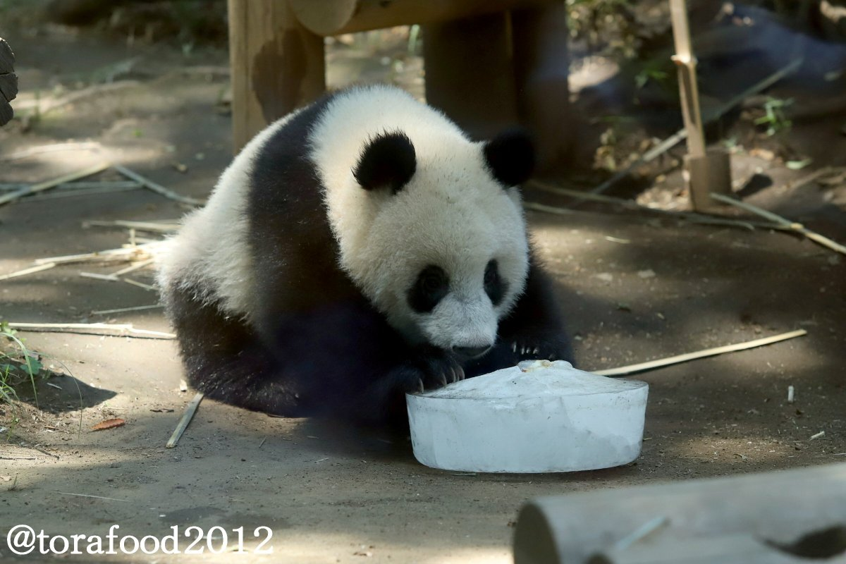 また両手で・・・。 #上野動物園 #パンダ #シャンシャン