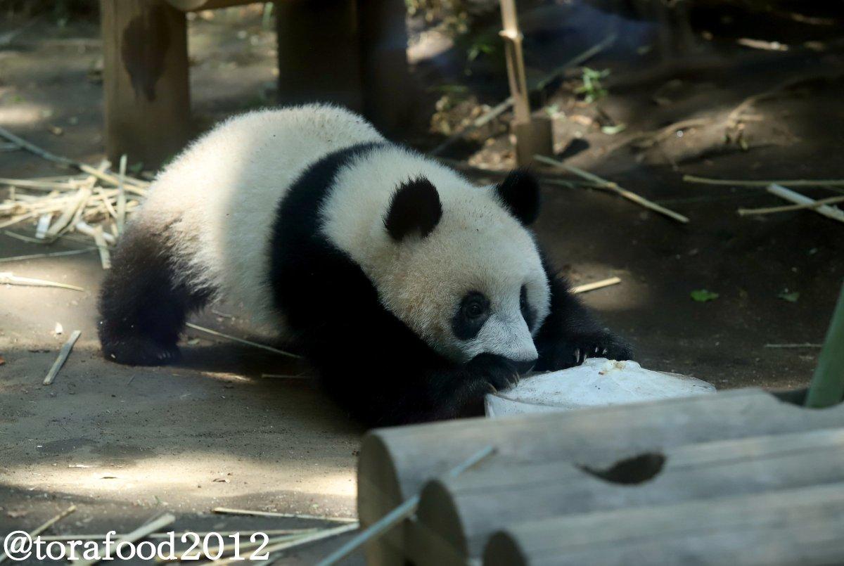 「カーリング女子でしゅ♥」 #上野動物園 #パンダ #シャンシャン
