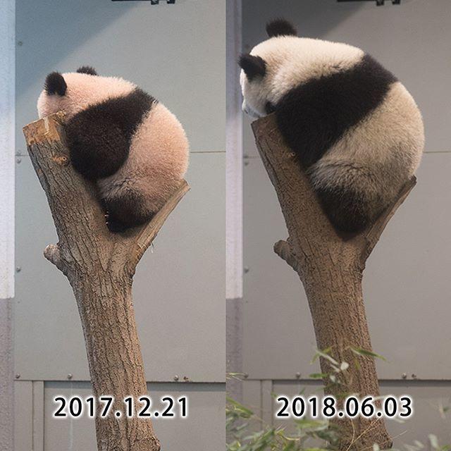 久々の定点観測 2017.12.21-2018.06.03 #上野動物園 #パンダ #シャンシャン #uenozoo #giantpanda #panda #xiangxiang