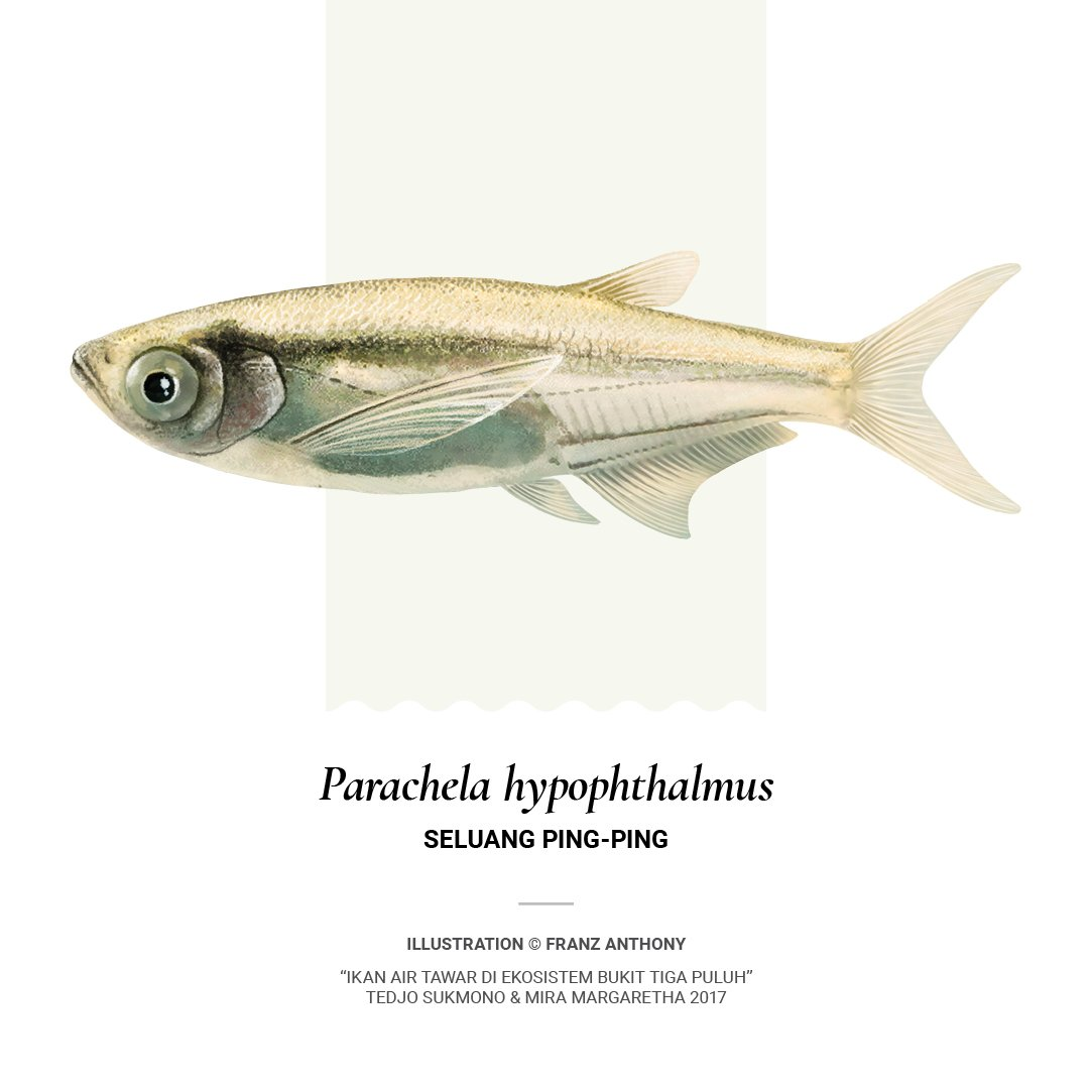 Franz Crab Cult Ar Twitter Parachela Hypophthalmus Seluang Ping Ping Lives In Groups In Calm Rivers And Swamps In The Malay Peninsula Sumatra And Borneo Sundayfishsketch Sciart Free Book Download Https T Co Yokmcrl6jl Poster