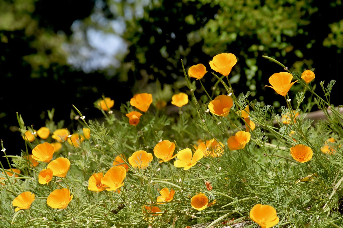 Elizabeth Wallace On Twitter California Golden Poppies Our State
