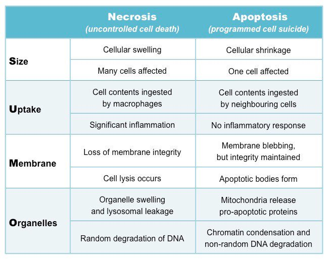 similarities between apoptosis and necrosis